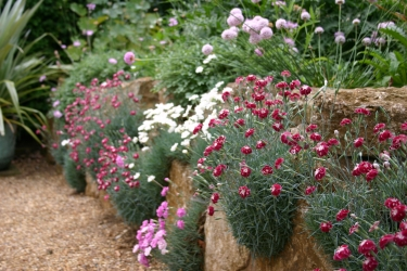 Dianthus Night Star2