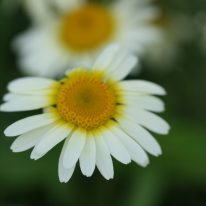 ANTHEMIS tinctoria Lemon Ice