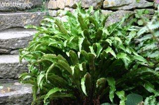 ASPLENIUM scolopendrium - Woottens Plant Nursery
