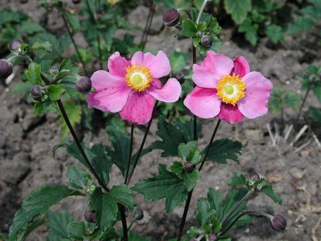 ANEMONE x hybrida Hadspen Abundance - Woottens Plant Nursery