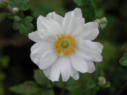 ANEMONE x hybrida Whirlwind - Woottens Plant Nursery