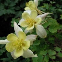 AQUILEGIA chrysantha Yellow Queen