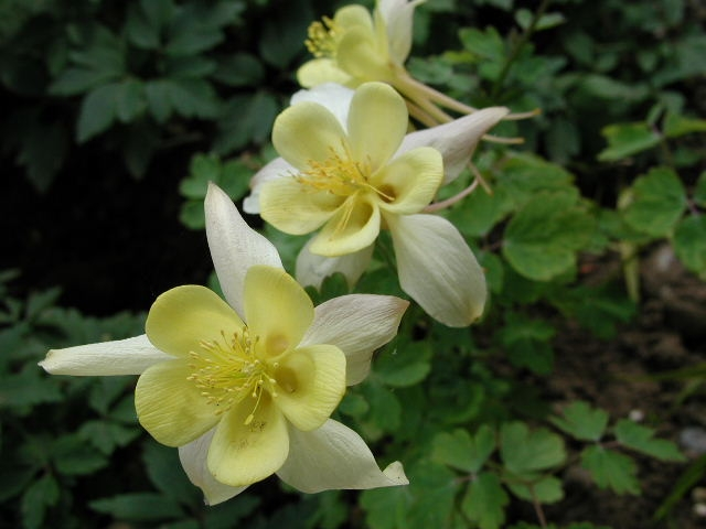 AQUILEGIA chrysantha Yellow Queen - Woottens Plant Nursery