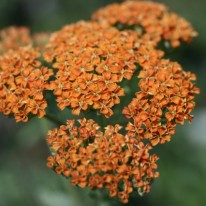 ACHILLEA Terracotta - Perennial Yarrow - Woottens Plant Nursery