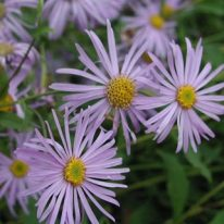 ASTER frikartii Monch - Woottens Plant Nursery.