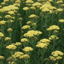 ACHILLEA Martina - Perennial Yarrow - Woottens Plant Nursery