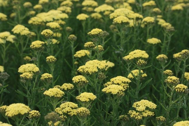 ACHILLEA Martina photo