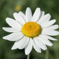 ANTHEMIS cupaniana - (Sicilian chamomile) -Woottens Plant Nursery