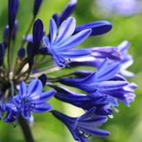 AGAPANTHUS Navy Blue (syn Midnight Star)