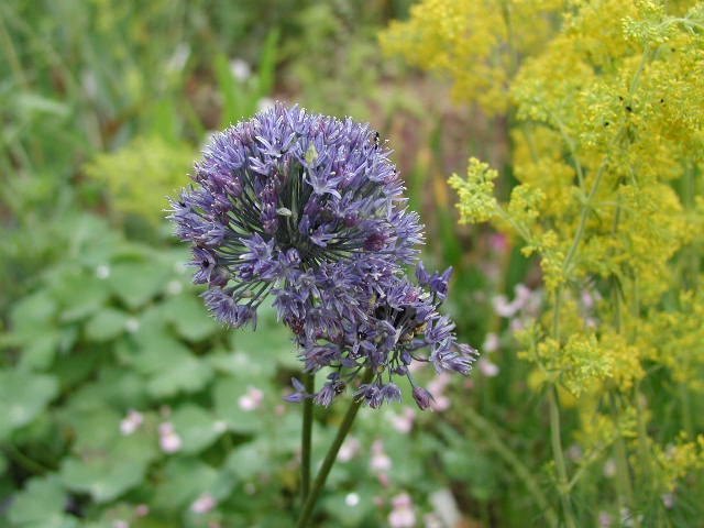 ALLIUM caeruleum - Woottens Plant Nursery Suffolk