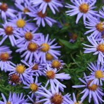 ASTER novi-belgii Lady In Blue