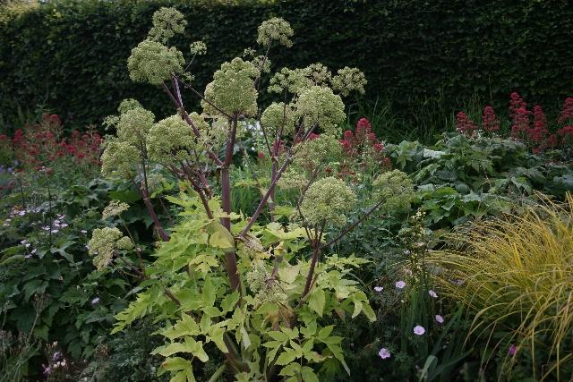 ANGELICA archangelica - Woottens Plant Nursery Suffolk