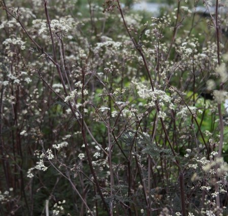 ANTHRISCUS sylvestris Ravenswing