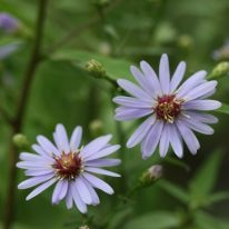 ASTER x cordifolius Little Carlow