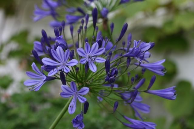 AGAPANTHUS Regal Beauty - Woottens Plants