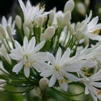 AGAPANTHUS White Heaven - Woottens Plants