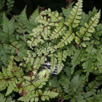 ATHYRIUM otophorum Okanum