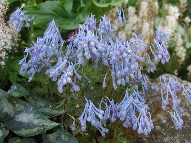 CORYDALIS flexuosa Purple Leaf