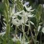 CAMASSIA leichtlinii Caerulea Alba