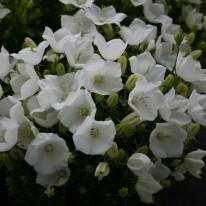 CAMPANULA carpatica Alba