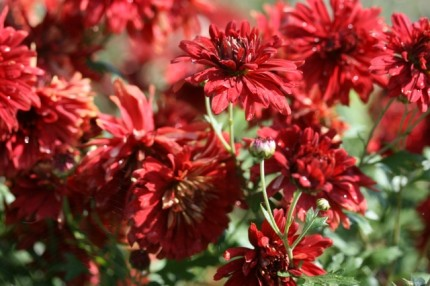 CHRYSANTHEMUM Duchess of Edinburgh