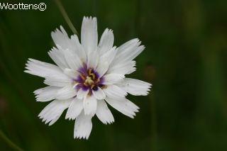 CATANACHE caerulea Alba