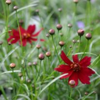 COREOPSIS verticillata Limerock Ruby