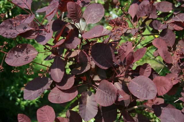 COTINUS coggyria Royal Purple