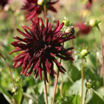 Dahlia Nuit D'Ete - Woottens Plant Nursery. Cactus Dahlia. Dahlia tubers