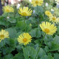 DORONICUM orientale Little Leo
