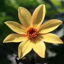 Dahlia Bishop of York - Woottens Plant Nursery. Star Dahlia. Dahlia tubers