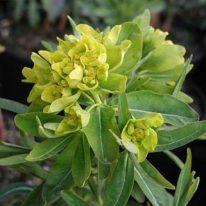 EUPHORBIA palustris Walenburg's Glory