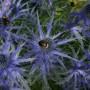 ERYNGIUM bourgattii Picos Blue