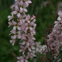 FRANCOA ramosa Pink Bouquet