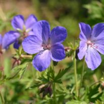 GERANIUM himalayense Johnsons Blue