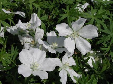 geranium sanguineum album woottens plants. Black Bedroom Furniture Sets. Home Design Ideas