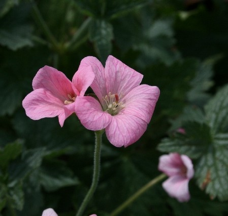 GERANIUM endressii Wargrave Pink