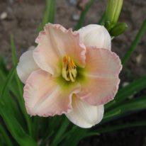 HEMEROCALLIS Longfield Beauty (2 Litre Pot)