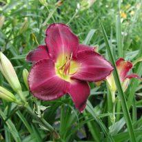 HEMEROCALLIS Strutters Ball Woottens Plant Nursery