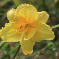 HEMEROCALLIS Happy Returns Woottens Plant Nursery