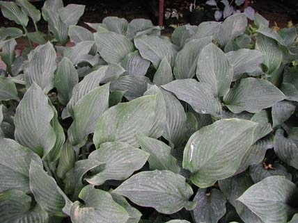 Hosta Krossa Regal Woottens Plants