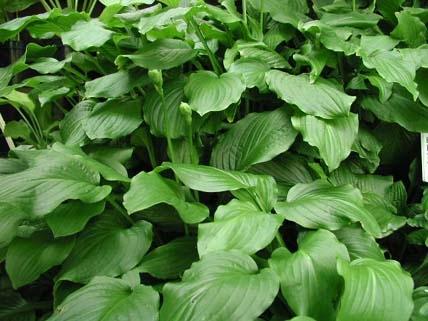 Hosta Royal Standard Woottens Plants