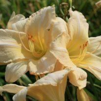 HEMEROCALLIS Heidi Edelweiss Woottens Plant Nursery