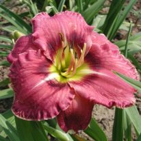 HEMEROCALLIS Always Afternoon. Daylily. Woottens Plant Nursery