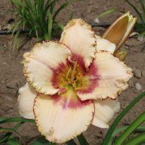 HEMEROCALLIS Islesworth Woottens Plant Nursery