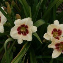 HEMEROCALLIS Shocker Woottens Plant Nursery