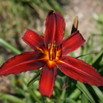 HEMEROCALLIS Red Starling. Spider Daylily. Woottens Plant Nursery