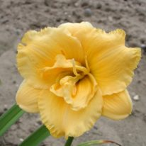 HEMEROCALLIS In Depth Woottens Plant Nursery