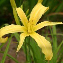 HEMEROCALLIS Garden Portrait. Spider Daylily. Woottens Plant Nursery