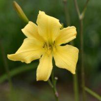 HEMEROCALLIS Itsy Bitsy Spider Spider Daylily. Woottens Plant Nursery
